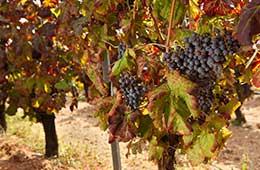vitigno monica
